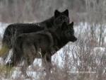 Two Black Wolves