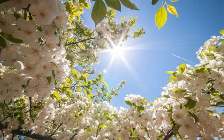Beautiful White Flowers Flowers Nature Background Wallpapers On