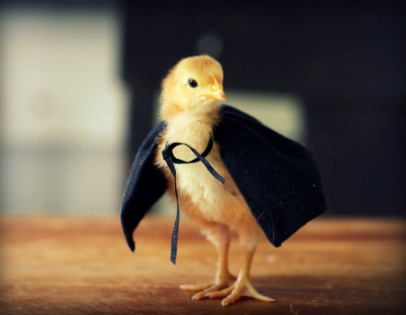 Ready for Halloween - cute, bird, chicken, halloween, black, cloak, yellow, easter
