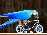 beautiful Macaw and awesome mini bicycle