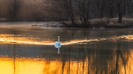Swan on Lake Beautiful England Autumn - autumn, sun, britain, england, dusk, sunset, swan, lake, winter, united kingdom, evening