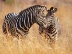 *** Zebras ***