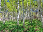 great birch forest