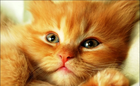 Cat for Carmen (carmenmbonilla) - sit, cute, quietly, relax, beautiful, cat, kitten, animal