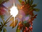Ray of Sun through Red Plumeria Flowers