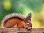 *** Squirrels ***