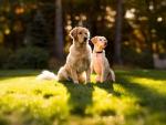 Golden retriever dogs