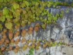 Creeping Vine Along Rock Wall