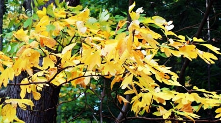 Golden Leaves - yellow leaves, golden autumn, Golden Leaves, golden tree