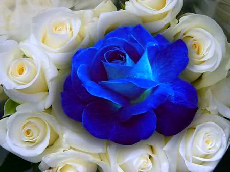 Blue And White Rose Wallpaper White And Blue Roses