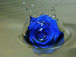 Rose Splash