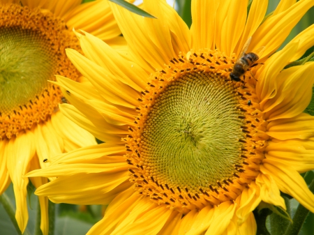 Bee_2 - bee, flower, yellow, makro, sunflower