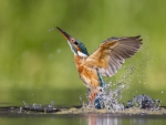 Stunning Kingfisher