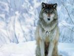 a wolf