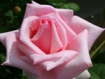 Tender pink rose with water drops