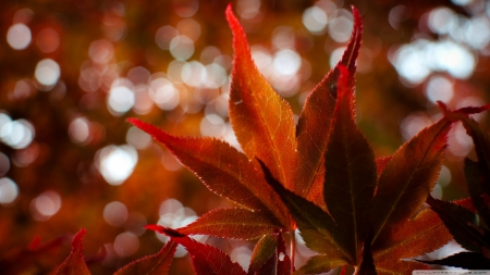 Red Japanese maple - fall, autumn, zen, maple, HD, maple leaf, abstract, leaf, leaves, photography, japan, japanese maple, wallpaper, macro, nature