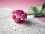 *Pink Tulip*