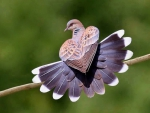 Beautiful dove