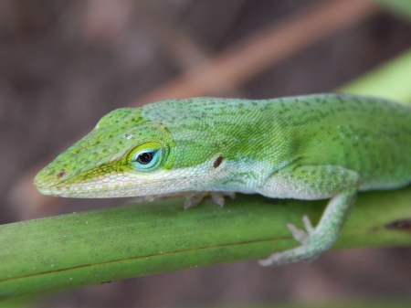 Green Anole Lizard Cute - anole, pretty, green, lizards, color, pets, animals