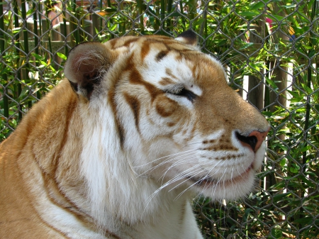 golden tiger - rock, tiger, animal, leaves, profile, wallpaper, color, art, female, male, golden tiger, angry cat, sumatra, cat, snow leopard, predator, black panther, liger, snow, feet, cub, summer, the tiger, sister, jaguar, desktop, eyes, white, big cats