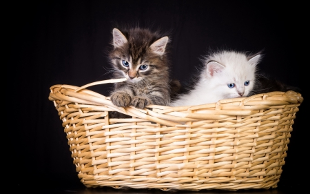 *** Kittens in basket *** - kat, kitten, cats, animals, animal
