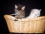 *** Kittens in basket ***