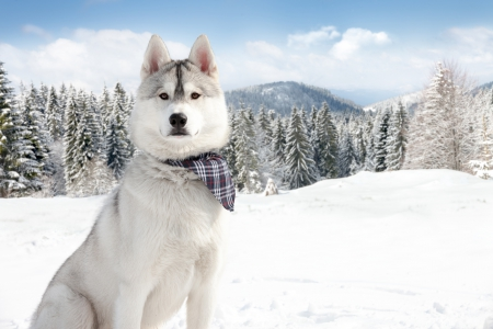 Husky - winter time, trees, winter, dog face, splendor, snow, mountains, husky, animals, dogs, dog