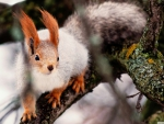 Nimble squirrel