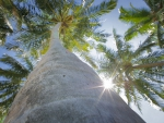 View up a Palm Tree