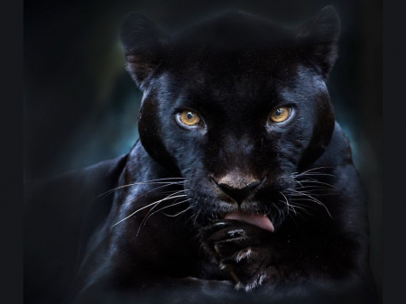 Black fear - predator, black panther, cat, hunter