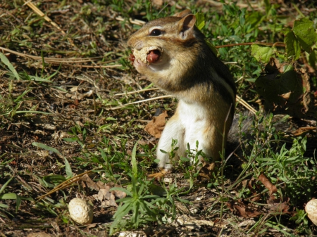 eating again? - foilage, chipmunk, rodent, brown