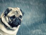 Pug in the rain