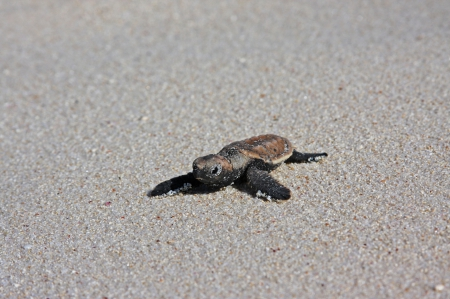 Baby Sea Turtle - baby, bora bora, animal, tropical, south, back, lagoon, leather, islands, juvenile, island, turtle, polynesia, sea, sand, exotic, tahiti, amphibian, ocean, beach, paradise, pacific, marine