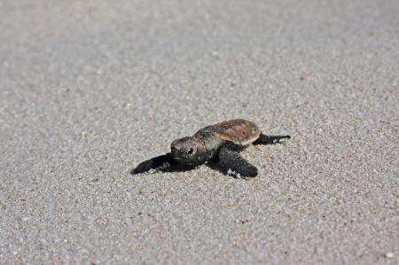 Baby Sea Turtle - ocean, amphibian, polynesia, back, paradise, island, islands, bora bora, juvenile, sea, turtle, pacific, lagoon, sand, exotic, animal, marine, tropical, leather, south, tahiti, beach, baby