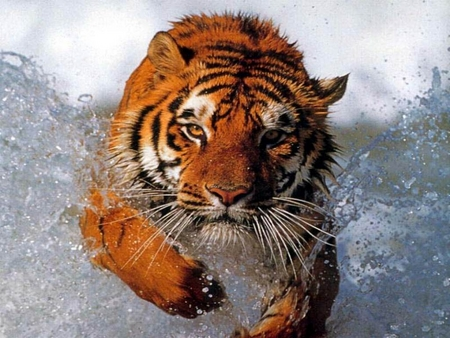 Tiger Running through Water - cats, water, hunt, running, nature, tiger, stripes, splashing, fierce, orange, splash, ferocious, wildlife, big cats