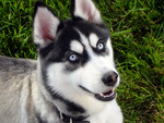 Siberian Husky with Cold Blue Eyes