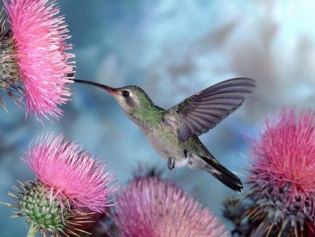 Colibri Bird - yy, colibri, nature, bird, humming bird