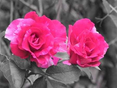 Pretty hot pink roses flowers nature background wallpapers on pretty hot pink roses beauty pink photographer flowers hot black mightylinksfo