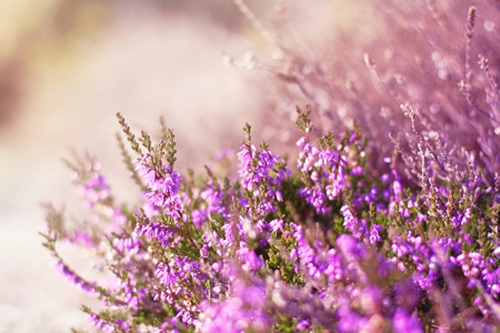 Midsummer Breeze - purple, breeze, flowers, nature, midsummer