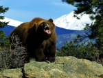 Angry Grizzly