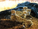 Family Cheetah