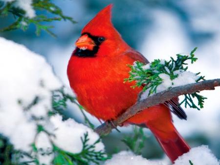 Winter cardinal birds animals background wallpapers on - Winter cardinal wallpaper ...
