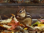 Autumn Chipmunk f1