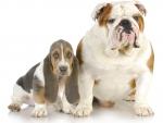 *** English bulldog and basset ***