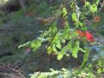 Sun Glows On Pine