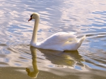 The Grace of a Swan
