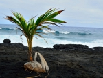Coconut Tree on Lava Rock