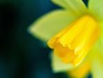 Bright Daffodil♥