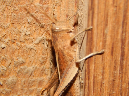 Grasshoppers - pretty, woods, grasshoppers, colored, insects, bugs, same, nature