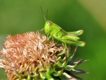 Green Grasshopper on flower